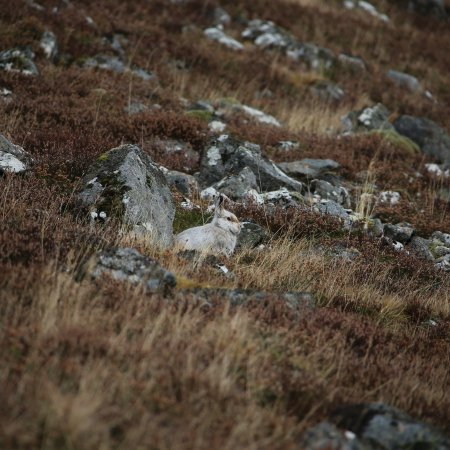 Highland Wildlife & Birdwatch Safaris : Mountain hare