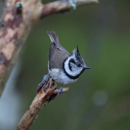 Highland Wildlife & Birdwatch Safaris : Crested tit