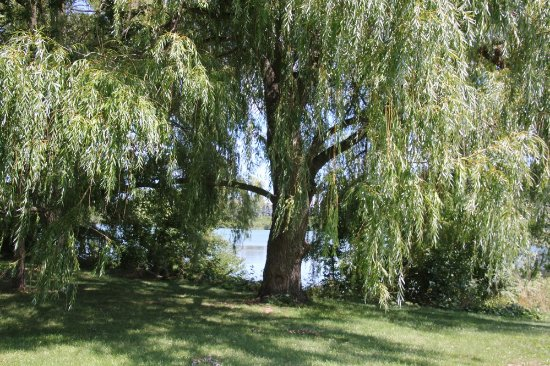 St. Catharines, Καναδάς: Willow trees nearby the canal