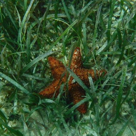 Caye Caulker, Belice: starfish