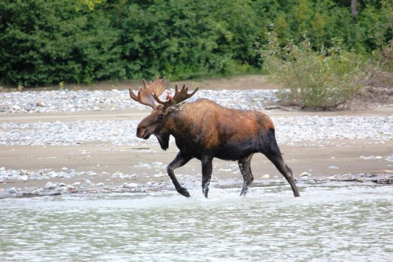 Wrangell, AK: Bull moose up the Stikine River