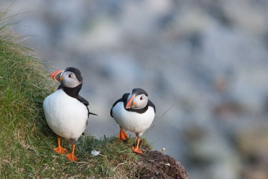 Westray, UK: Puffins - easily seen in Castle O´Burrian
