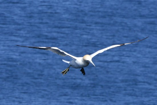 Westray, UK: Beautiful Gannets