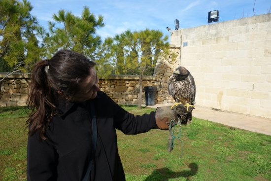 Siggiewi, Malta: Imprinted falcon kept turning his head in a curious way :)