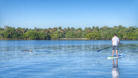 eeb5efeff228 South Florida Paddle: dolphins passing by a guest on our Eco Tour at  MacArthur State