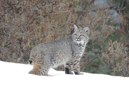 Bigfork, MT: A winter visitor