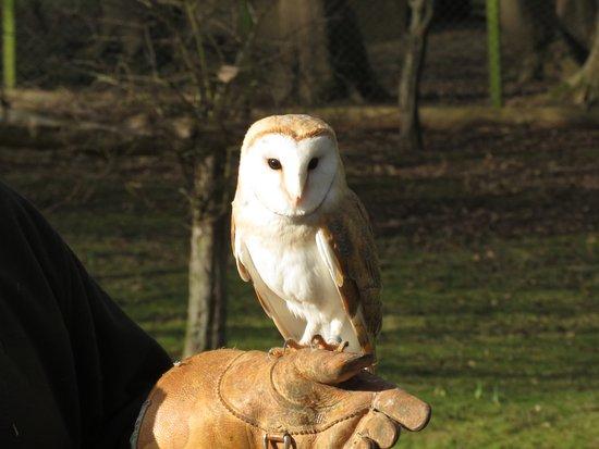 Bridlington, UK: barn owl