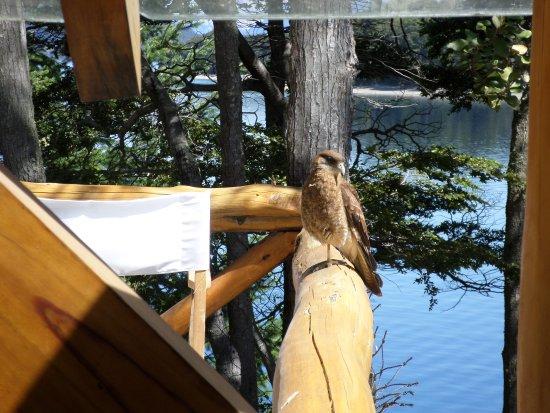 Punta Manzano : un aguilucho nos visitaba todos los días en el deck