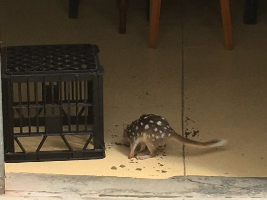 Kettering, Australia: Spotted Quoll in the museum