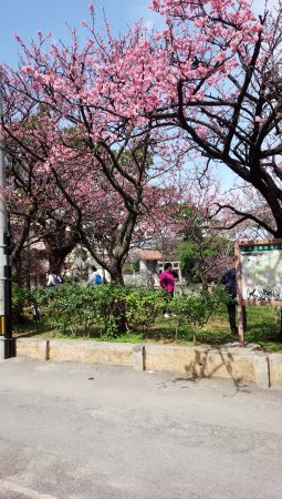 Hotel Sun Queen: 2月には牧志駅付近の緋寒桜も満開♪