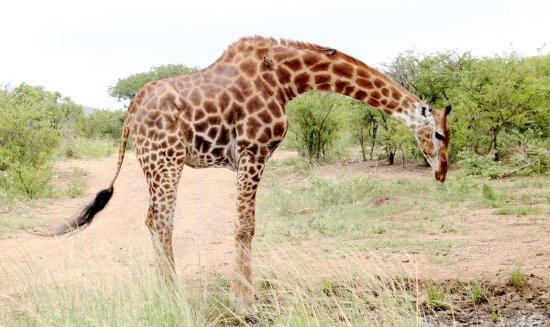 Tim Brown Tours - Durban Safari Tours: Giraffe