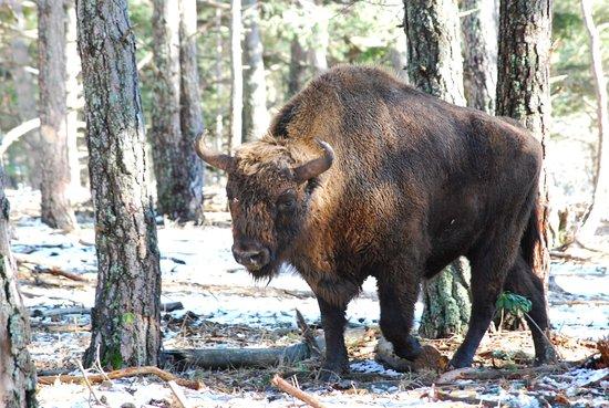 Thorenc, Γαλλία: bison