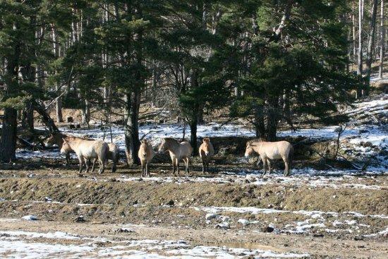 Thorenc, Γαλλία: chevaux de Przwalski