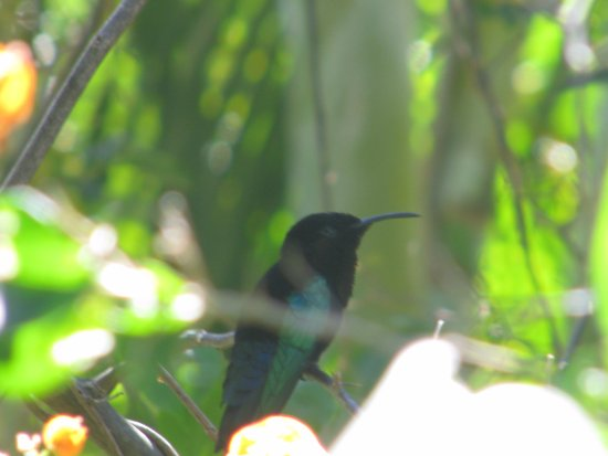 Nevis: The Humming Birds keep you company at lunch