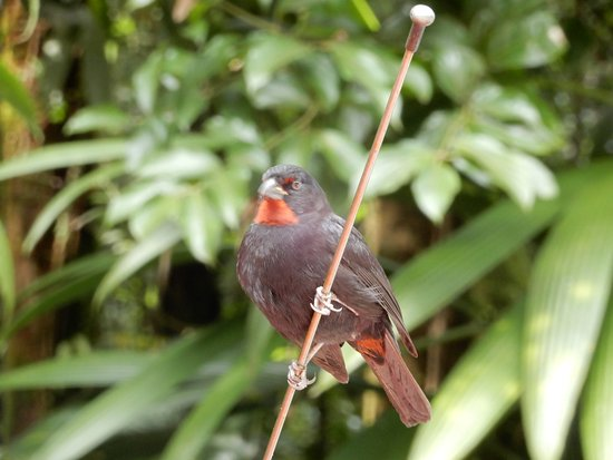 Marigot, Dominica: Finches galore!