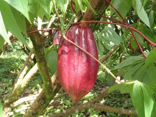 Bijagua de Upala, Costa Rica: Los Hijos del Bosque - cacao