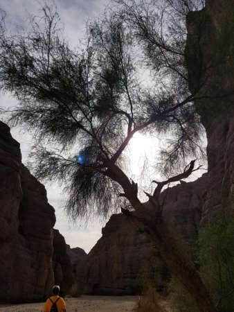 Painted Canyon: beautiful tree near the start of the open desert canyon trail