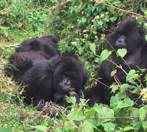 Volcanoes National Park: three gorillas together including silverback (alpha) lying down. (no zoom)