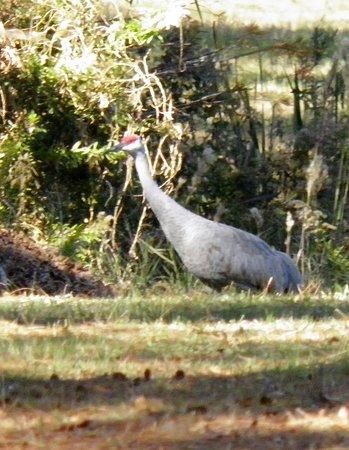 Gautier, MS: Sandhill crane.