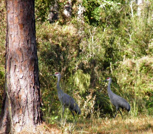 Gautier, MS: A mated pair of sandhill crane.