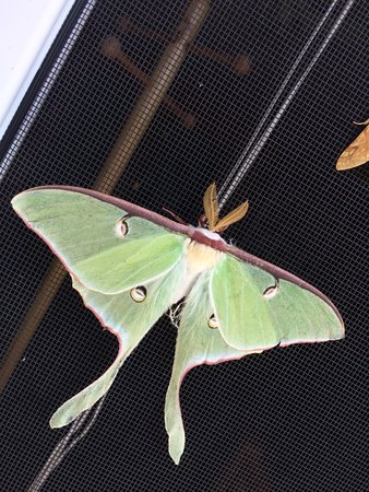 Ely, MN: Summer Time Luna Moth
