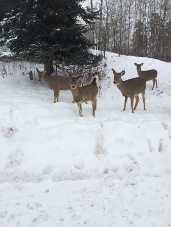 Ely, MN: Visit from the Yearlings