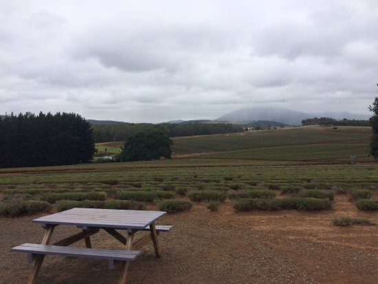 Tazmanya, Avustralya: View into the lavender fields in February
