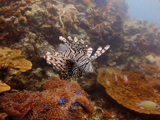 Cherngtalay, Tailandia: Lionfish