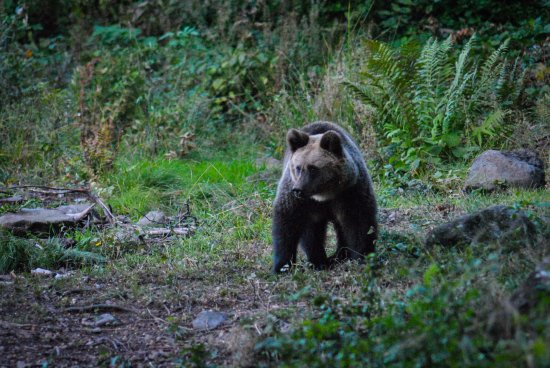 Miercurea-Ciuc, Roemenië:  Brown Bear Watching Tour from a Wildlife Hide