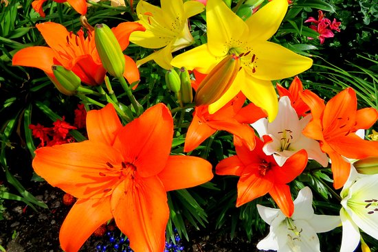 Litchfield, CT: Lovely lilies