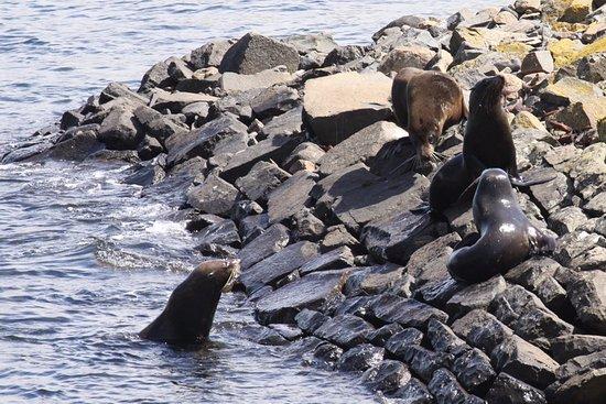 Otago Peninsula: Seals