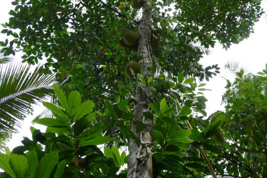 Old Village Spice & Herbal Garden: Jackfruit Tree