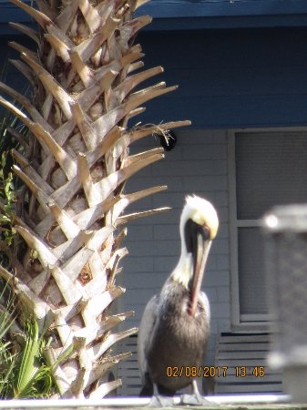 Astor, FL: Pelican...near the dock at The Blackwater Inn  (St John's River)