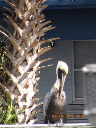 Astor, Floride : Pelican...near the dock at The Blackwater Inn  (St John's River)