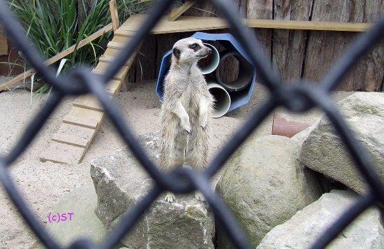 New Plymouth, New Zealand: Meerkat