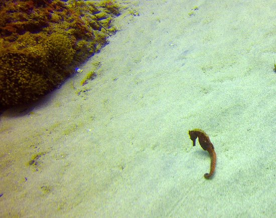 Paradise Diving Bali - Deutsche Tauchschule: Schwangeres Seepferchen