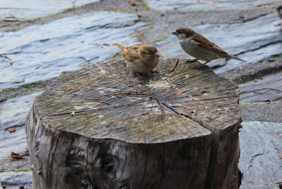 Walnut Cottage Cafe: A couple of sparrows enjoying some sugar lol