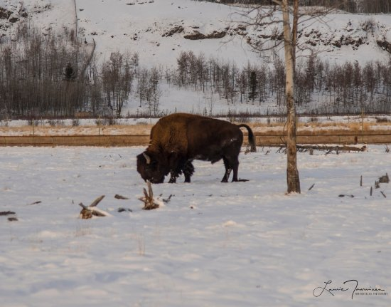 Yukon Wildlife Preserve: The magestic wood bison. Love these creatures!