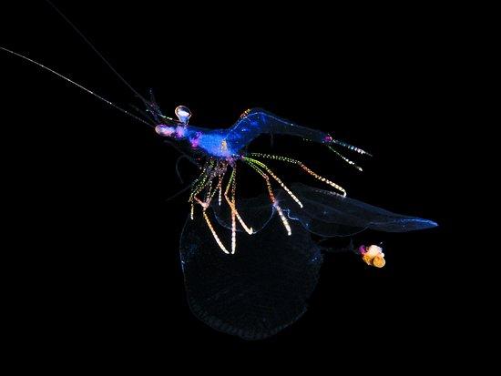 West End, Honduras: Shrimp and Pteropod