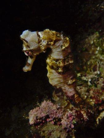 West End, Honduras: Seahorse in a Hole
