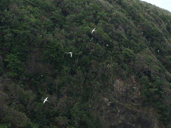 Costa Noreste, Tobago: Tropic birds