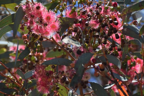 Middleton, Australia: Gum flowers