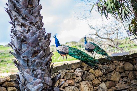 Xaghra, Μάλτα: De pauwen lopen in het rond