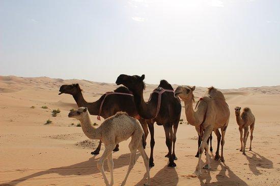 ליווה אואזיס, איחוד האמירויות הערביות: Camel Farms