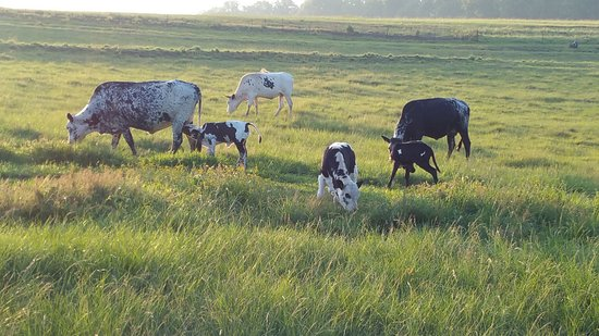 Nottingham Road, Южная Африка: Some of their beautiful cows on site