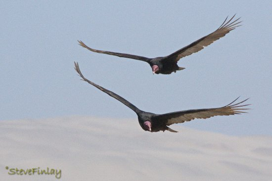 Pisco, Peru: Turkey Vultures riding the thermals