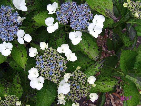 New Plymouth, Nya Zeeland: Blue flower
