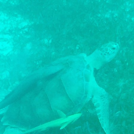 Undersea Explorer: Large sea turtle with remora attached to its shell