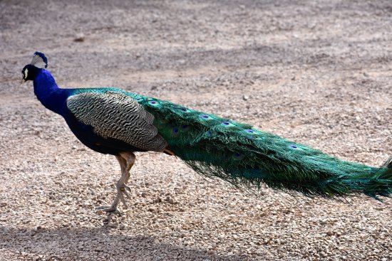 Elgin, AZ : Trevor the Peacock