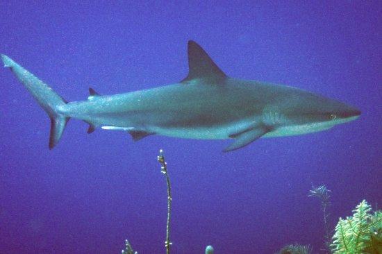 Caimán Brac: Caribbean Reef Shark